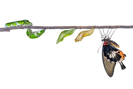 oruga: ciclo de vida de gran mariposa mormona de la oruga Foto de archivo