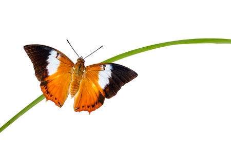 rajah: Top view of Tawny Rajah butterfly  with clipping path