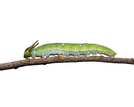 rajah: Caterpillar of Tawny Rajah butterfly isolated with clipping path
