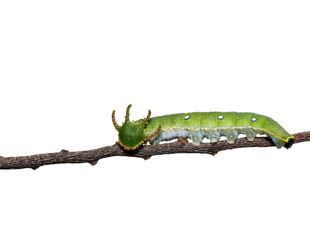 Caterpillar of Tawny Rajah butterfly isolated with clipping path