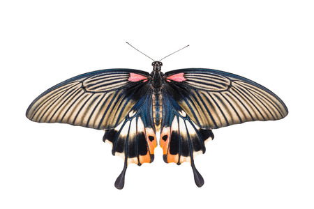 forewing: Isolated yellow body female great mormon swallowtail butterfly