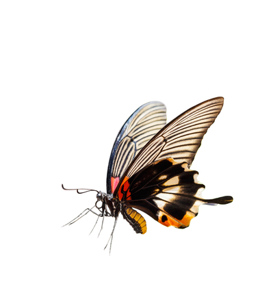 forewing: Isolated female yellow body Great mormon Butterfly Stock Photo