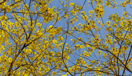 lamiales: Blooming yellow trumpet flower