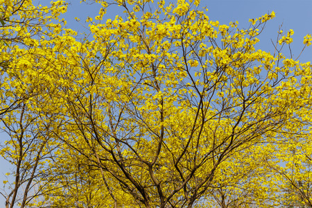 lamiales: Yellow trumpet flower blooming with blue sky