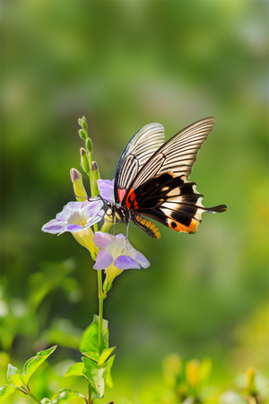 groundcover: Butterfly resting on chinese violet flower