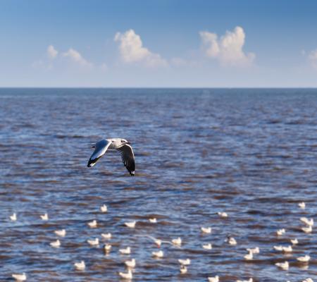 larus: Flying rown-headed seagull over sea  Larus brunnicephalus