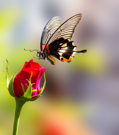 forewing: Female yellow body Great mormon Butterfly resting on rose flower Stock Photo