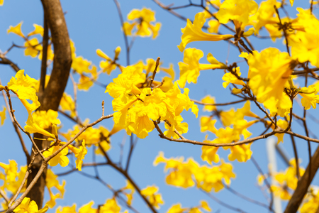 lamiales: Blooming yellow trumpet flower and blue sky