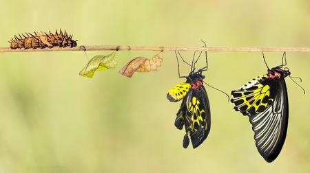mariposas amarillas: Ciclo de vida de la mariposa birdwing com�n de la oruga