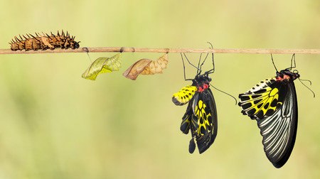 life change: Life cycle of common birdwing butterfly from caterpillar