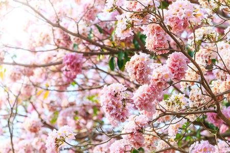 asterids: Pink trumpet flower or tatebuia rosea on daylight