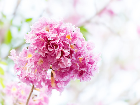 asterids: Close up pink trumpet flower or tatebuia rosea Stock Photo