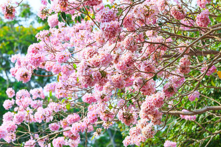 rosea: Pink trumpet flower or tatebuia rosea on daylight