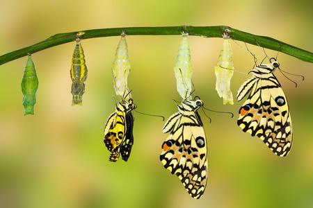Trasformazione di Lime Butterfly (Papilio demoleus) Archivio Fotografico