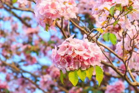 asterids: Pink trumpet flower or  tatebuia rosea Stock Photo