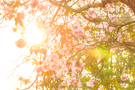 asterids: Sunlight through pink trumpet flower for background