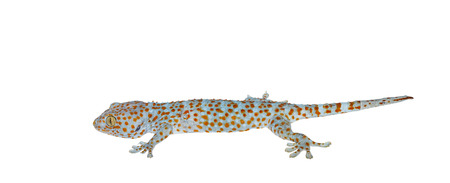 reptilia: Isolated gecko on white background with clipping path