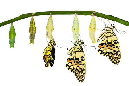 papilio demoleus: Isolated transformation of Lime Butterfly (papilio demoleus) with clipping path Stock Photo