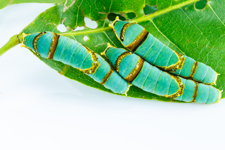 stomach bug: Final instar caterpillar of banded swallowtail butterfly on leaf ( Papilio liomedon )