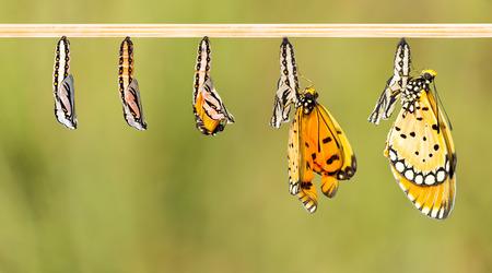 Oudere cocon te transformeren naar Tawny Coster vlinder witte het knippen weg