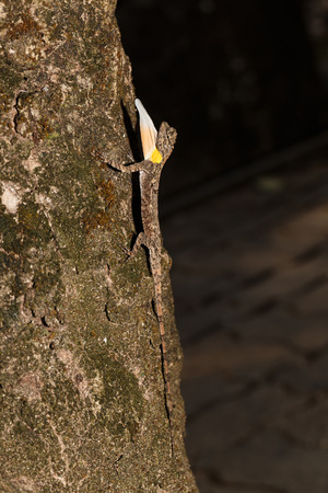 flying dragon: Spotted flying dragon or Orange-winged flying lizard with gular fold (Draco maculatus) on tree Stock Photo