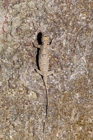 maculatus: Spotted flying dragon or Orange-winged flying lizard (Draco maculatus) on tree