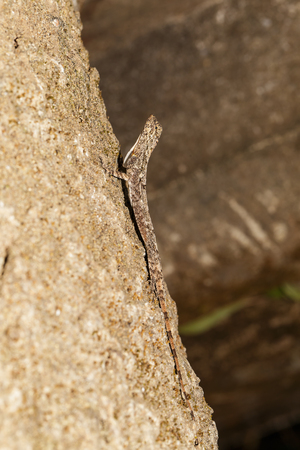 Spotted flying dragon or Orange-winged flying lizard (Draco maculatus) on tree