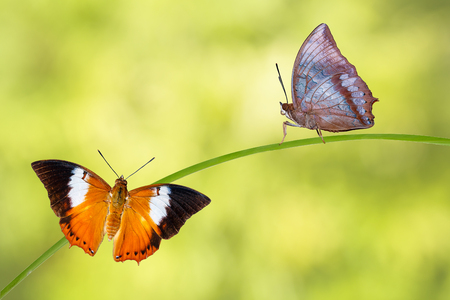 rajah: Isolated Tawny Rajah butterfly