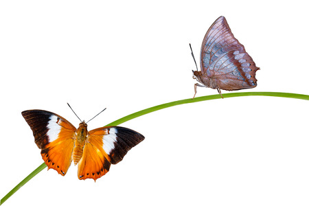 tawny: Isolated Tawny Rajah butterfly  with clipping path