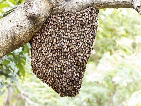 dorsata: Swarm of honey bee clinging on tree