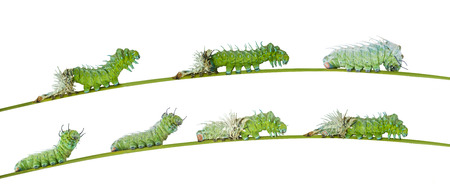 molting: Isolated molting caterpillar of Atlas butterfly