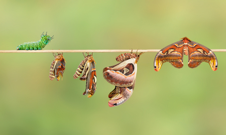 Attacus アトラス蛾の毛虫からのライフ サイクル