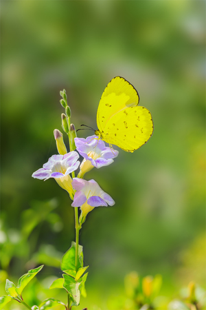 groundcover: Yellow butterfly on chinese violet flower