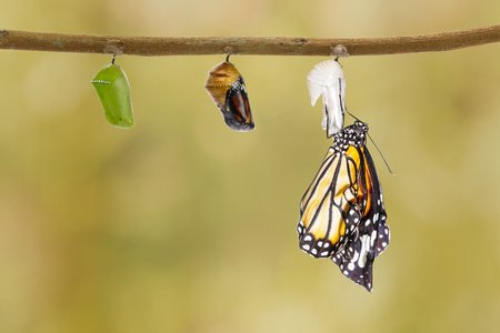 pupa: Common tiger butterfly emerging from pupa hanging on twig