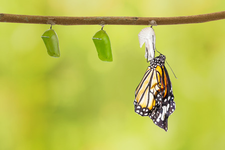 green butterfly: Common tiger butterfly emerging from pupa hanging on twig