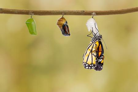 나뭇 가지에 매달려 번데기에서 나오는 일반적인 호랑이 나비 스톡 콘텐츠