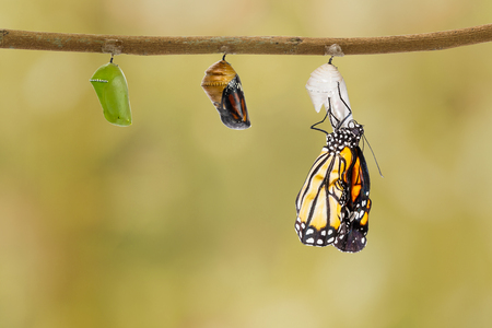 Common tiger butterfly emerging from pupa hanging on twig