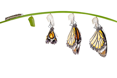 Transformation of common tiger butterfly emerging from cocoon isolated on white Archivio Fotografico