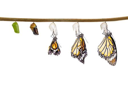 クリッピング パスと白で隔離繭から出てくる共通の虎蝶の変換