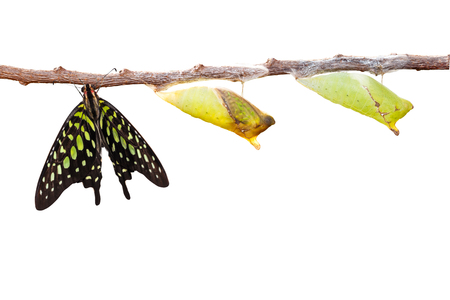 chrysalis: Isolated tailed jay butterfly with chrysalis and mature on white