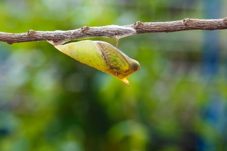 green jay: cris�lida maduras de mariposa atada de Jay que cuelgan en la ramita
