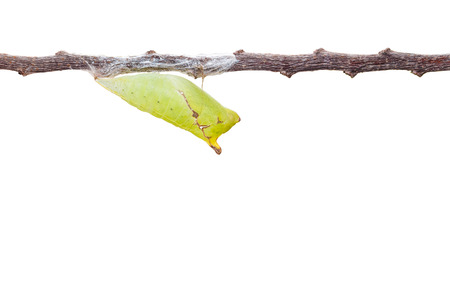 chrysalis: Isolated chrysalis of tailed jay butterfly with twig on white