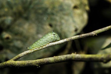 green jay: Última instar oruga de mariposa atada de Jay descansando en la ramita