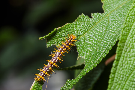 lycaenidae: Caterpillar of yellow coster butterfly resting on host plant
