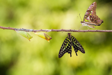 tailed: Isolated tailed jay butterfly with chrysalis and mature on white