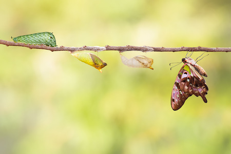 chrysalis: Tailed jay butterfly with chrysalis and caterpillar on twig