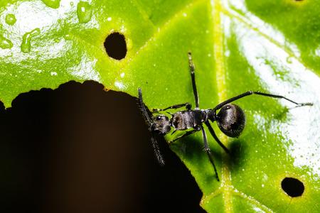 hormiga hoja: hormiga negro en la hoja verde