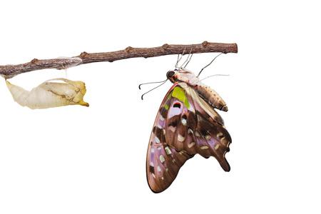 green jay: Aislados mariposa atada de Jay con cris�lida y maduro en blanco