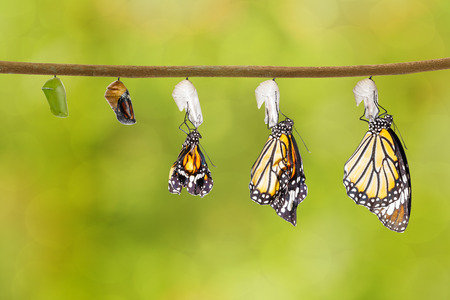 Transformation of common tiger butterfly emerging from cocoon with chrysalis