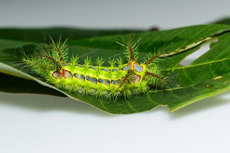 babosa: Cierre de picadura de oruga babosa ortiga, phocoderma velutina polilla Foto de archivo